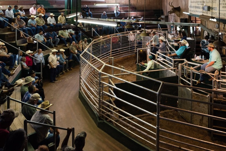 Livestock auction in Alice, Texas.