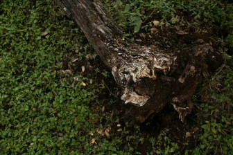 A fallen oak tree shows it's exposed roots in the Hollywood Park neighborhood.