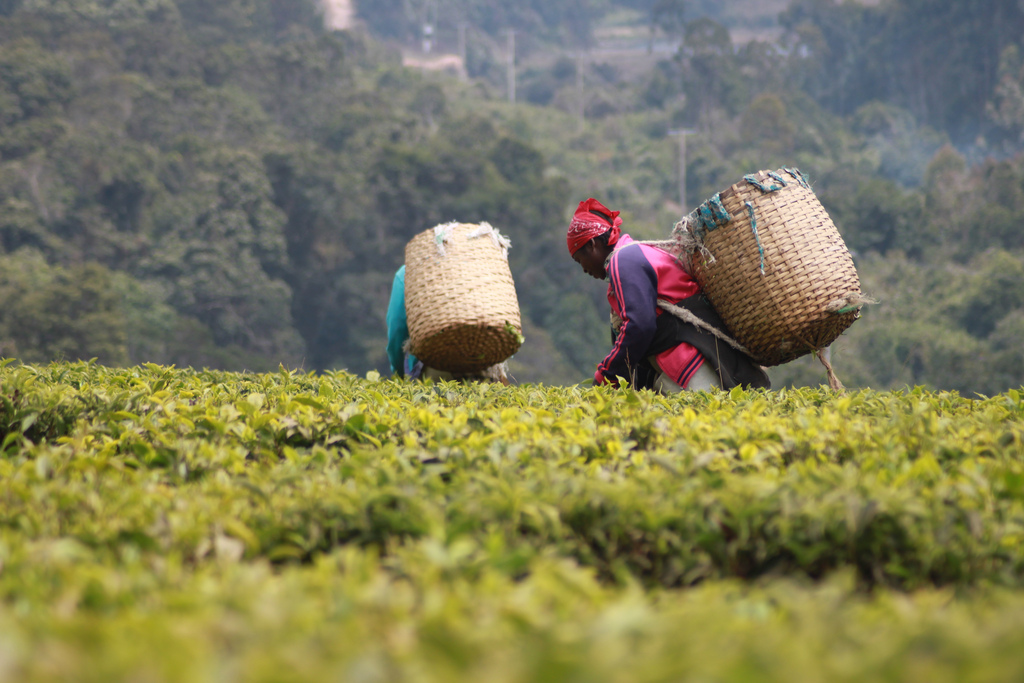 Women in Tanzania pluck the tea in a systematic manner. The tea for the wildlife camps is bought at a local Fair Trade and Rainforest Alliance certified tea company.
