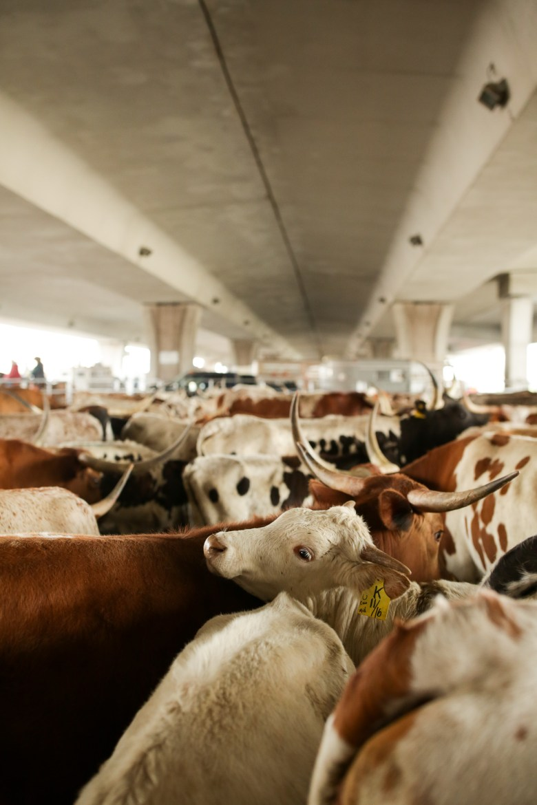 Over 100 head of cattle wait in a holding pen underneath Interstate 35.