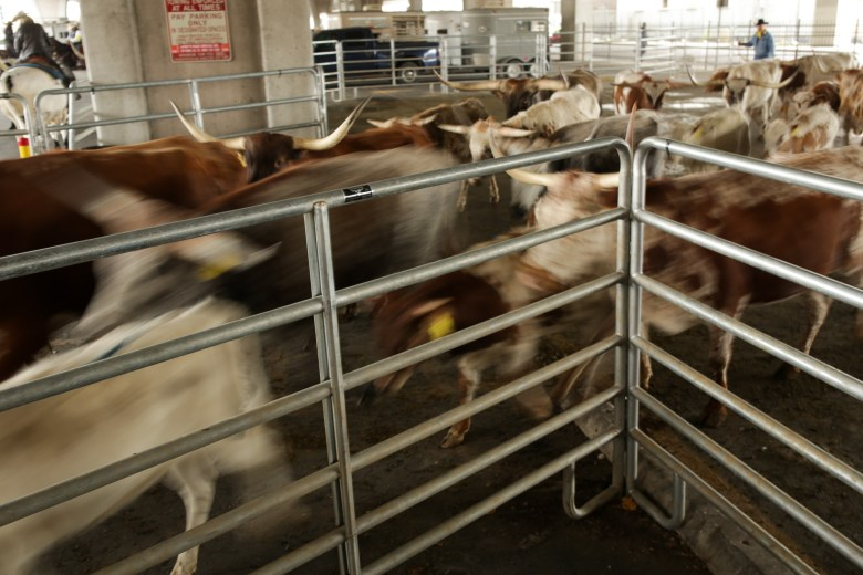 Cattle are driven through holding gates underneath Interstate 35 in preparation of the Western Heritage Parade.