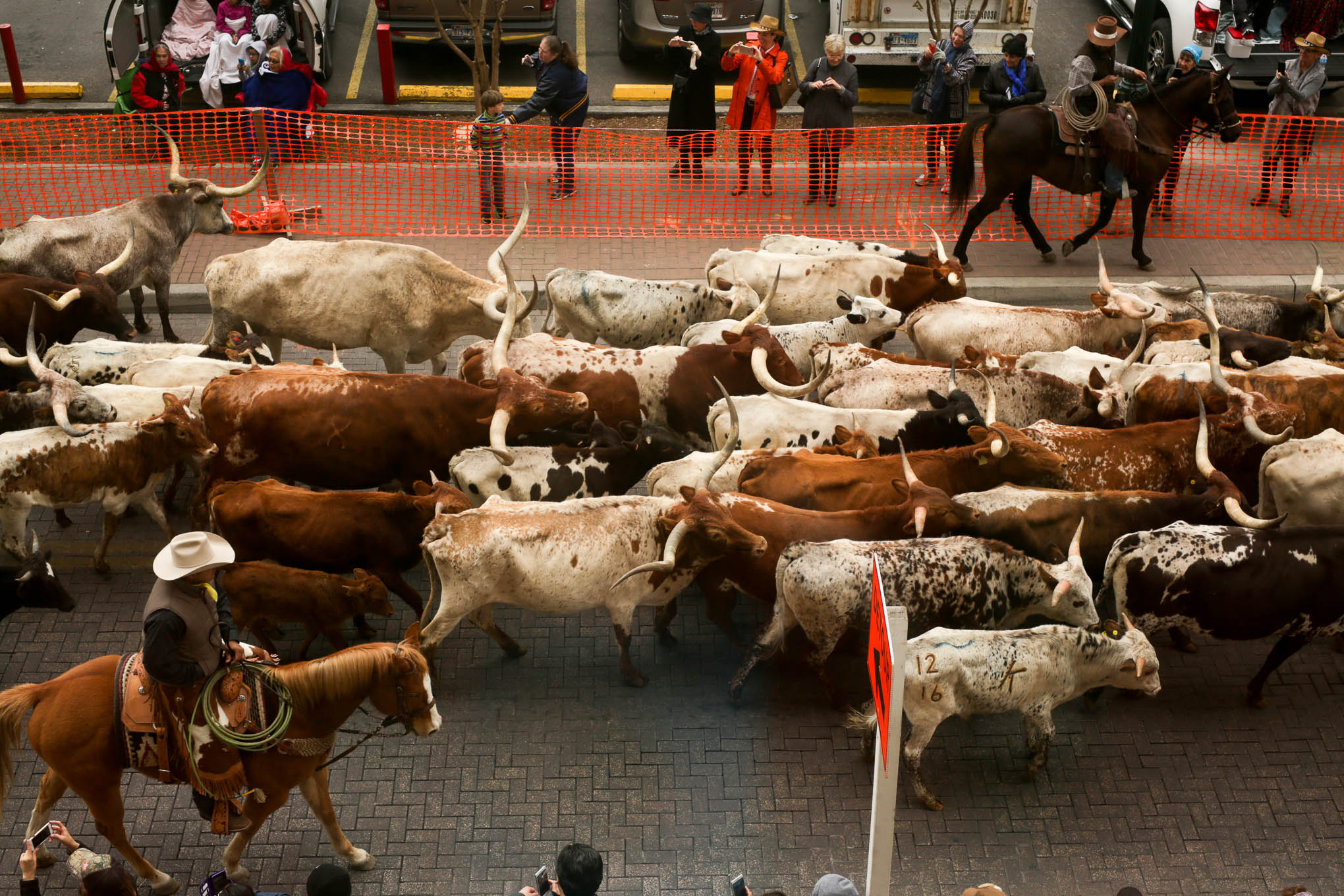 Texas Longhorns Tackle Downtown S Concrete Cattle Trail