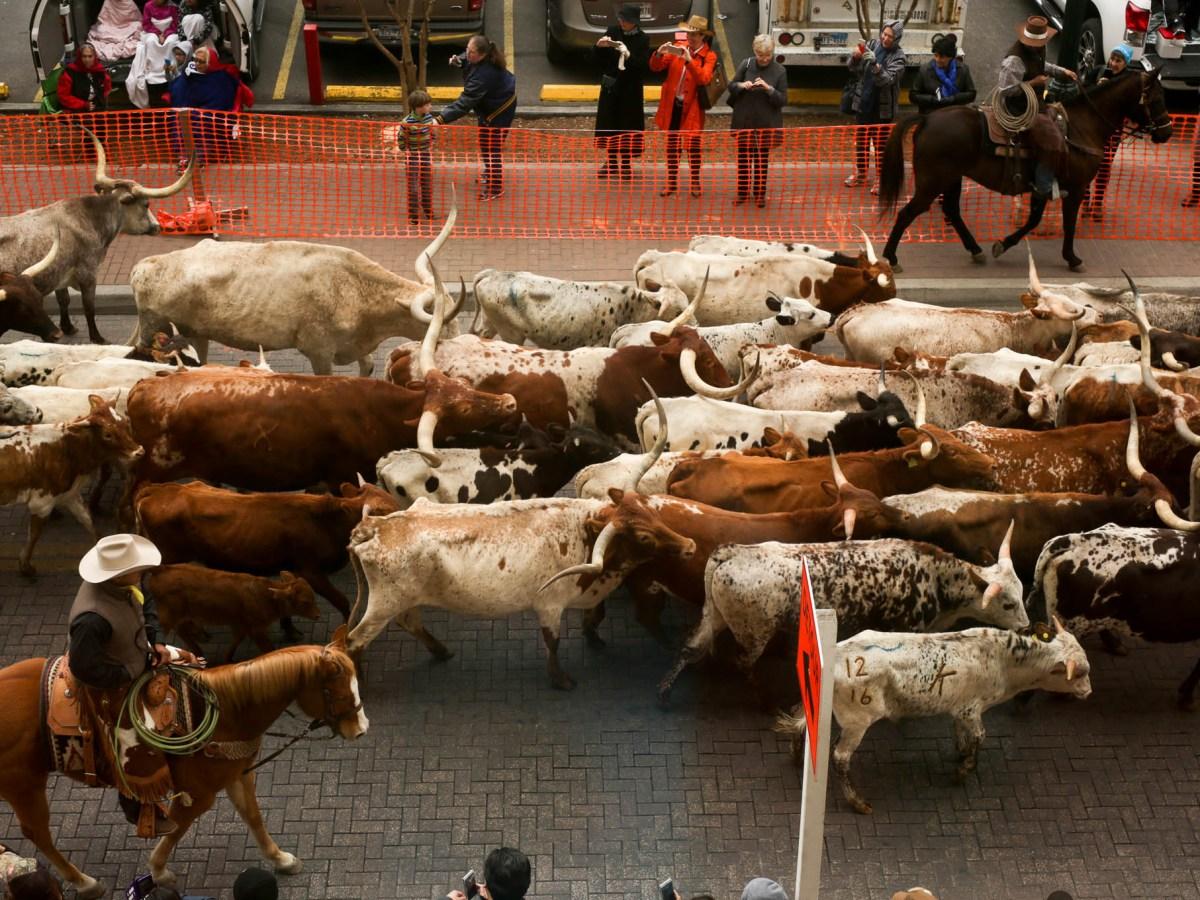 Cattle make their way down Houston Street leading the Western Heritage Parade through downtown San Antonio.