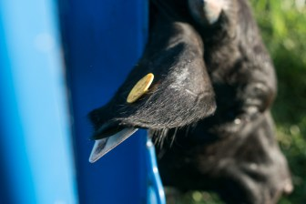 A tag used to identify the cow in the Agex process is placed on the ear.