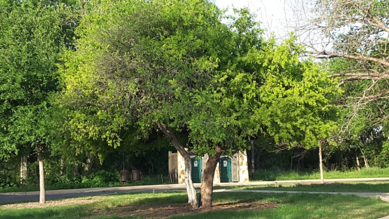 At least two-thirds of the tree trunk should be shaded by canopy, as with these two native trees along the Mission Reach of the San Antonio River.