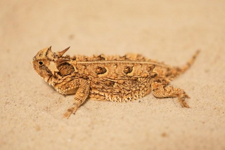 A horned lizard.