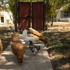 Chickens eat feed in the backyard gardens of Outlaw Kitchens.