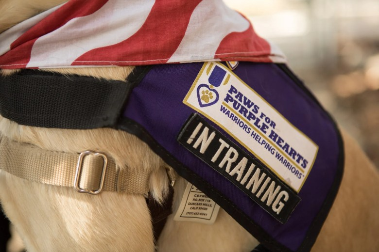 Annie wears a Paws for Purple Hearts In Training vest.