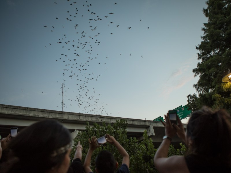 A crowd records video of the bats flying from the I-35 underpass at the 5th Annual Bat Loco Bash.