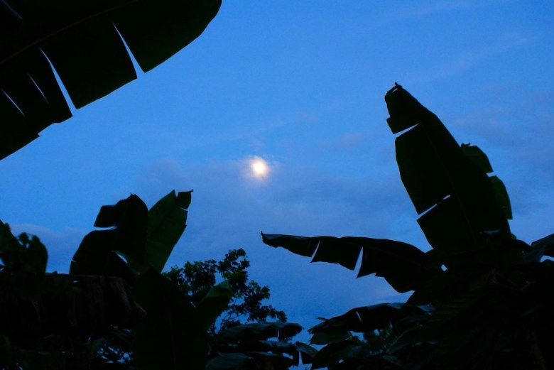 Moonlight shining in the night sky with banana tree silhouettes in the foreground.