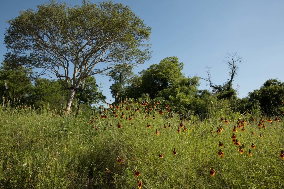 Prairie flowers and grasses dominate the landscape along the San Antonio River.
