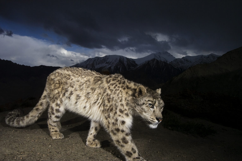 A remote camera captures an endangered snow leopard.
