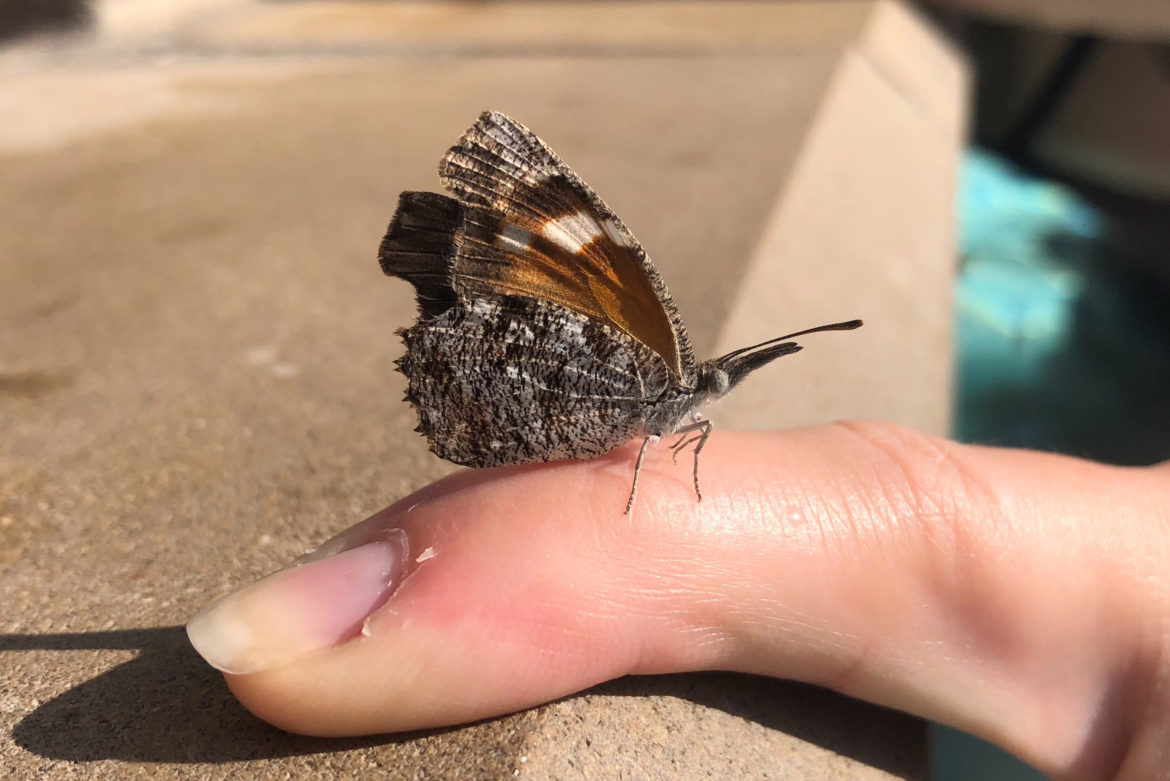 """The American Snout butterfly has a reputation for """"mass movements"""" in and around Central and South Texas following late summer rains."""