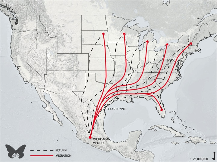 Monarch butterflies migrate through the Texas Funnel en route to and from their roosting grounds in Mexico in the spring and fall.