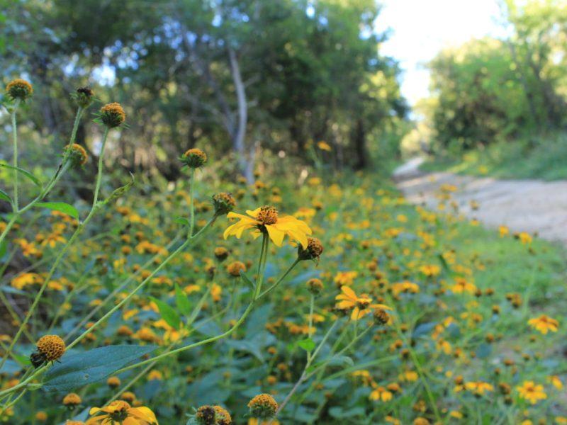Fall flowers bloom along the Cibolo Creek Primitive Trail.