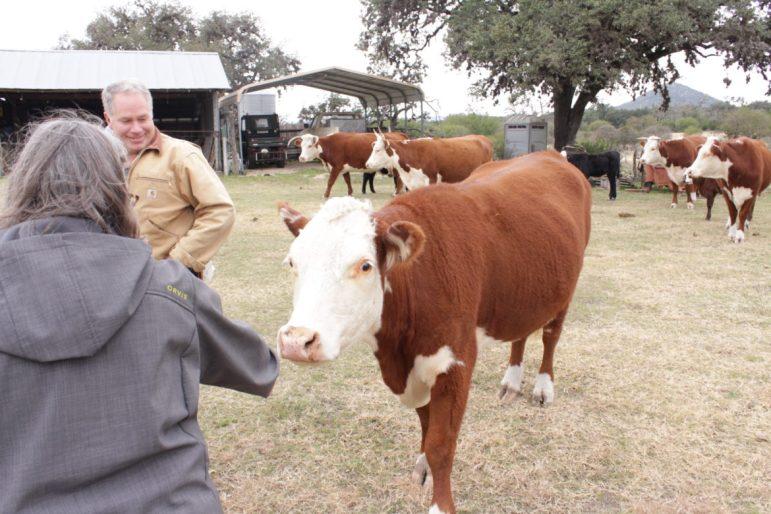Margo Denke, left, and John Blackwell greet one of Blackwell's cattle at their ranch near Tarpley.