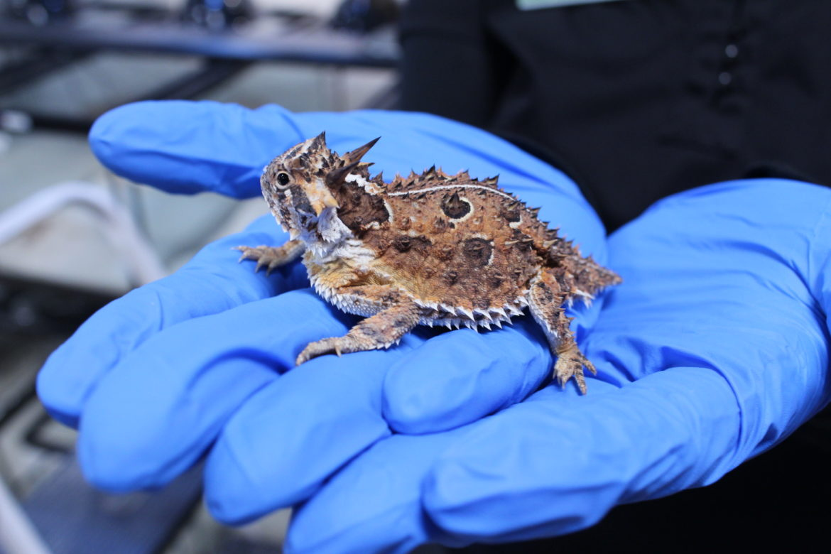 Experts say the Texas horned lizard has mostly disappeared from its range east of Interstate 35.