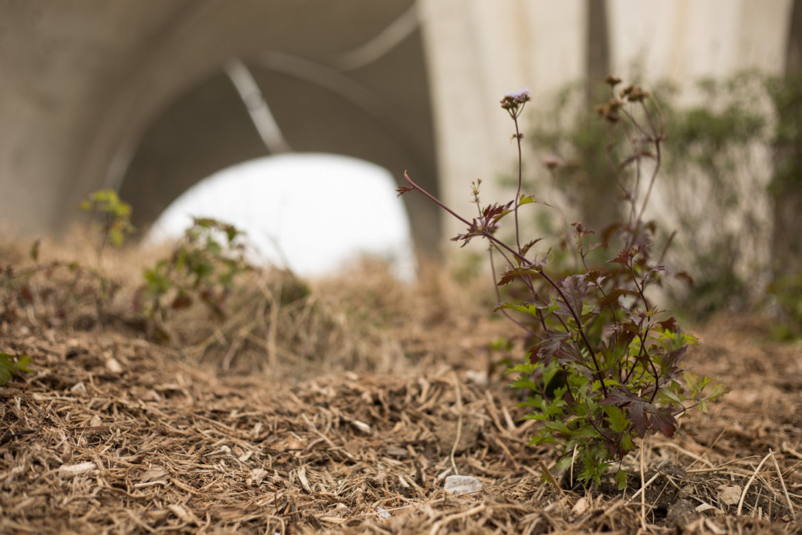 Gregg's mistflower was planted as part of a pollinator garden at Confluence Park.