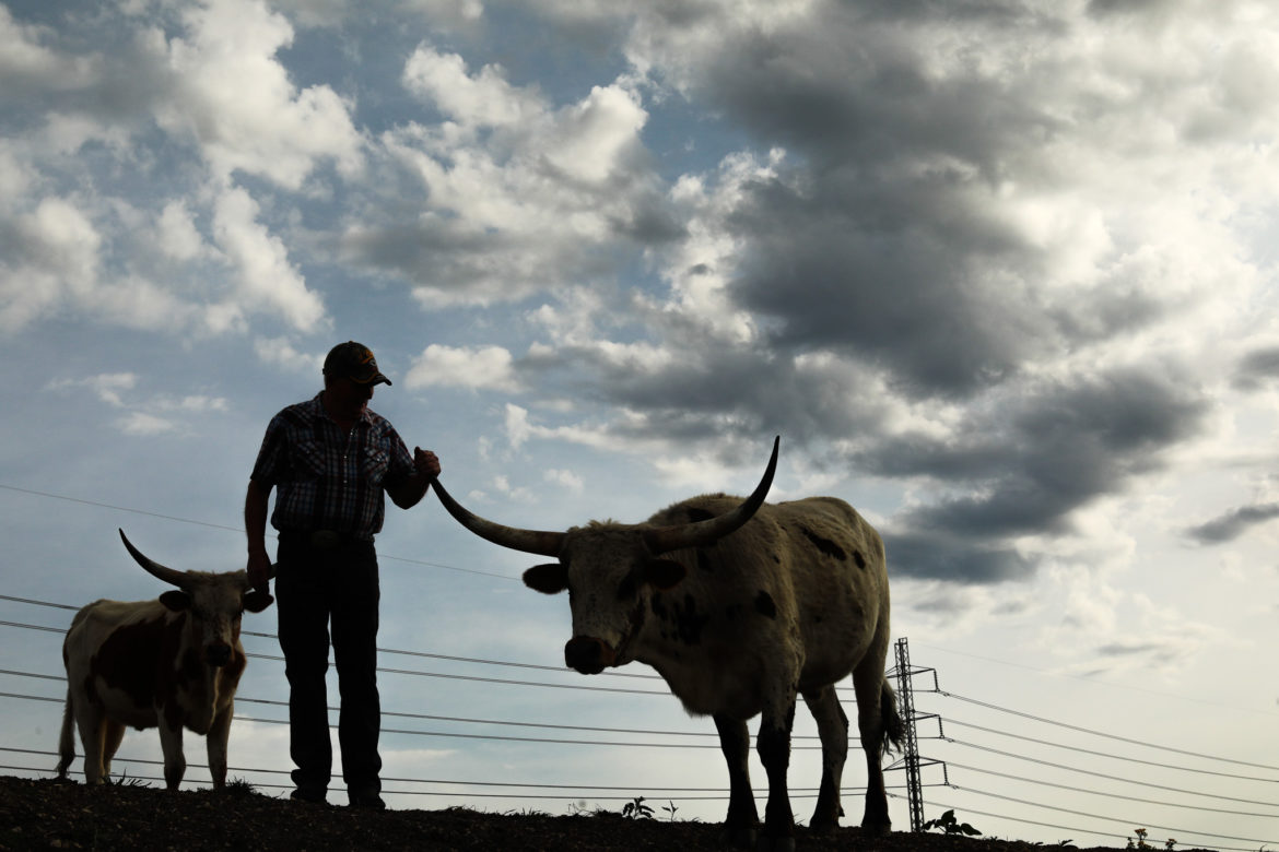 Randy Chandley spends his days working land and cattle owned by his church in the Northeast side as they continue to raise funds by selling Texas longhorn cattle.