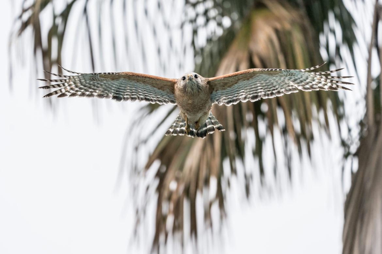 A red-shouldered hawk flies through the air.