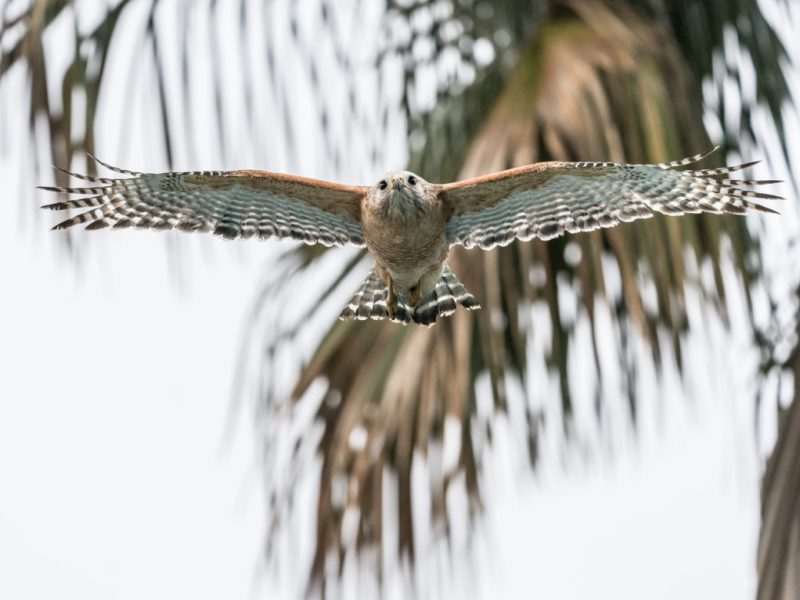 A red-shouldered hawk flies through the air.