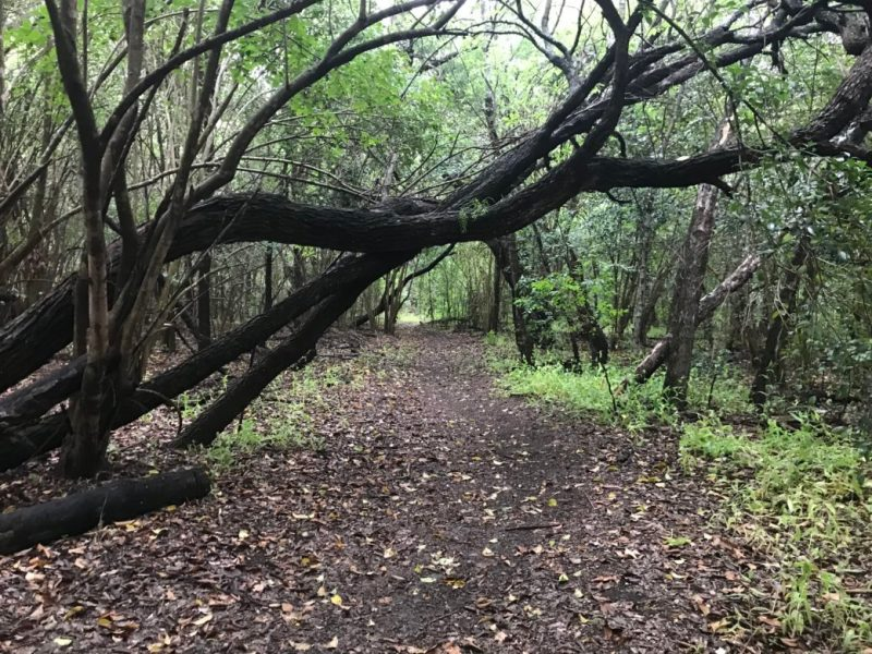 A head-banger of a tree limb extends over a single-track trail at Olmos Basin Park.