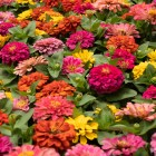 Potted flowers come in a wide variety of colors.