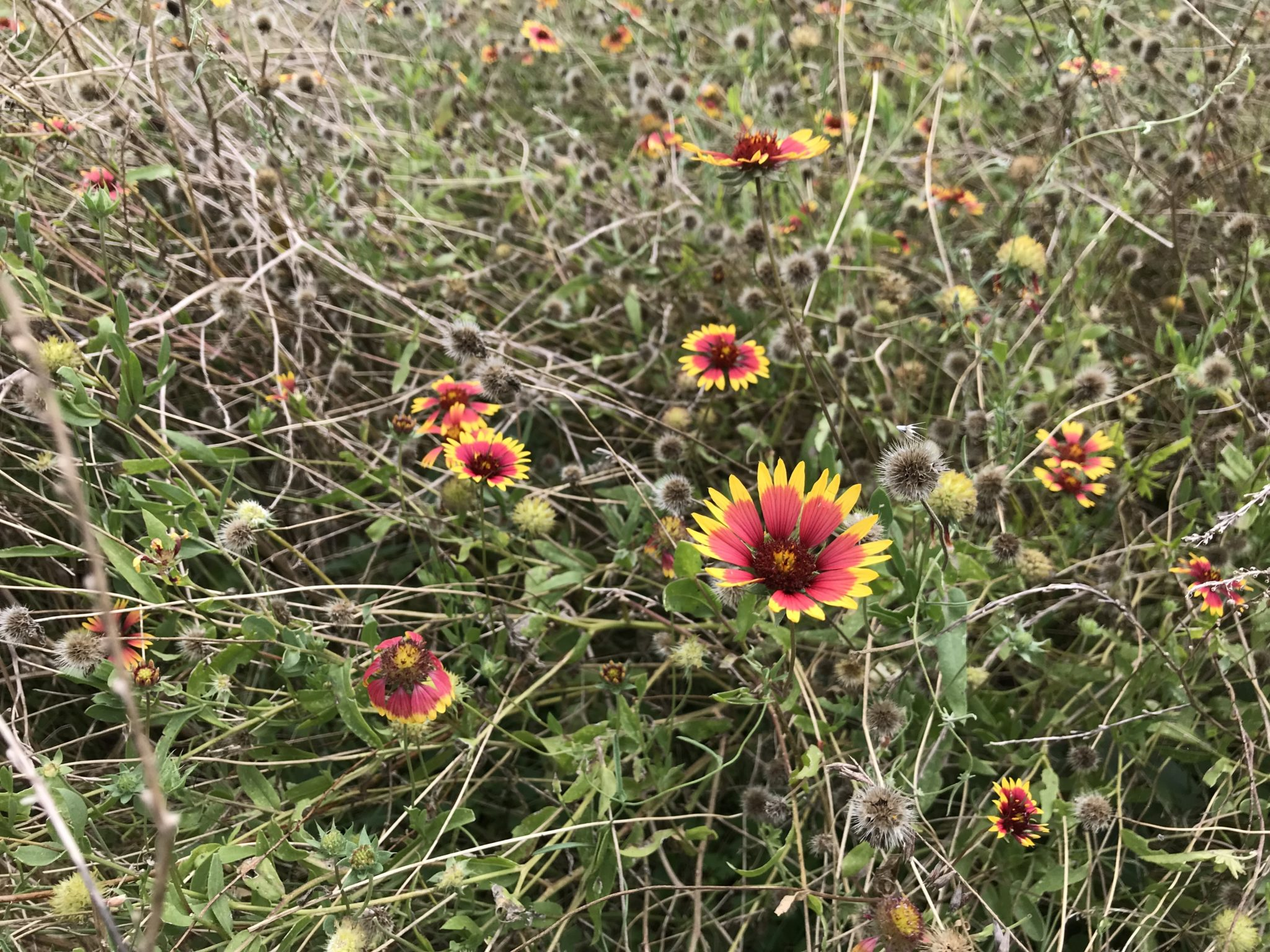 Indian blankets bloom near the trail at Crescent Bend Nature Park.
