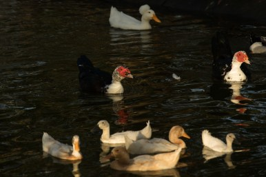 Waterfowl swim in the new Eden Duck Pond.
