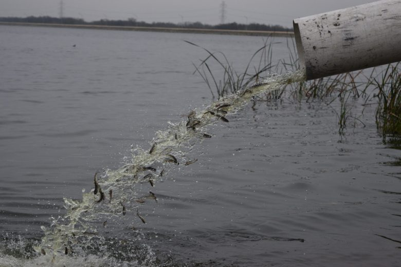 Fingerling channel catfish spill from a truck during a stocking at CPS Energy's Braunig Lake.