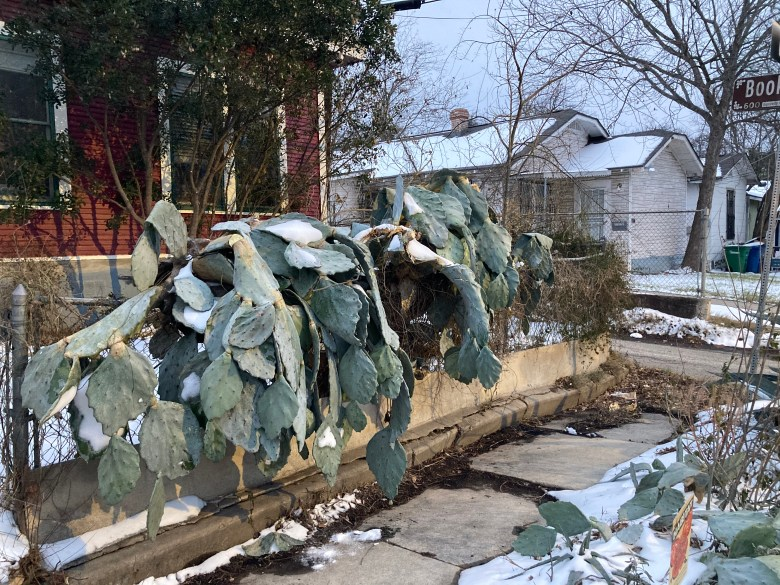 Prickly pear cacti succumb to the freeze in Dignowity Hill.