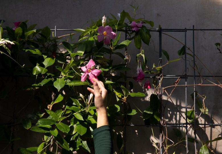Chelsea Crisler, a senior conservatory gardener at the San Antonio Botanical Garden, trains a flowering vine along a lattice.