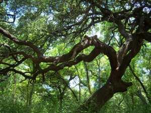 Photo of a huge Live Oak tree on the Salado Park Greenway.