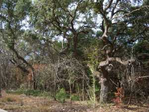 Photo of Live Oak trees along the trail.