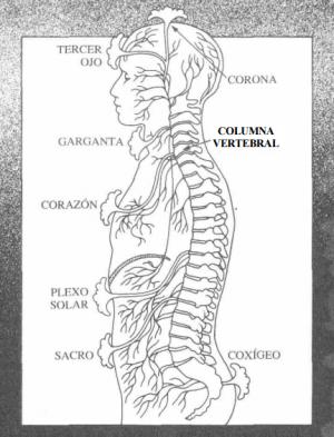 Anatómicamente cada chakra principal se asocia con un plexo nervioso principal y con una glándula endocrina. Los chakras principales se hallan en línea vertical ascendente desde la base de la columna vertebral hacia el cráneo.