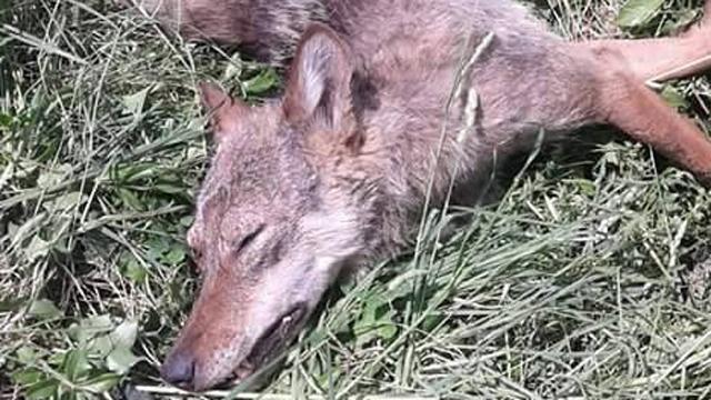 Fortore, lupo morto ritrovato a bordo strada a San Bartolomeo in Galdo