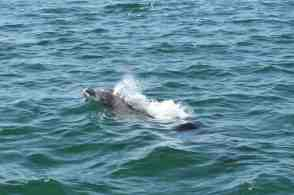 Our resident dolphin are here because of the estero
