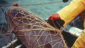 vaquita gill net