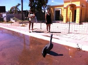 stranded-pelican