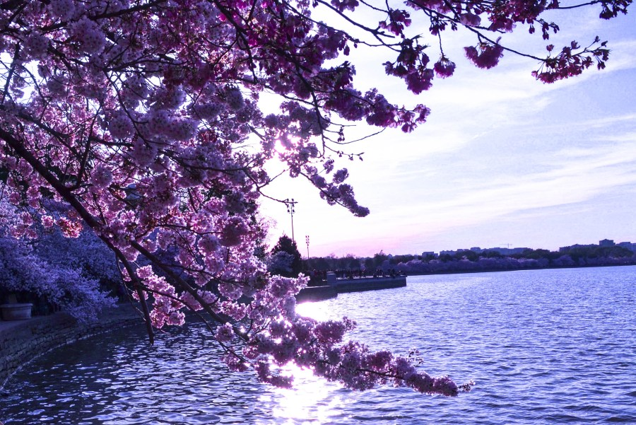 Cherry Blossoms in West Potomac Park