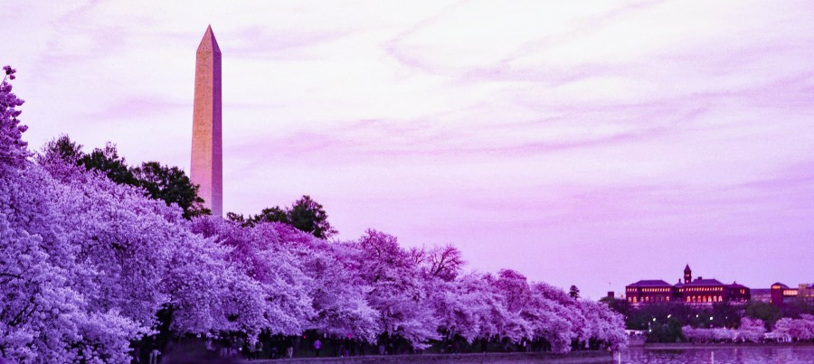 Cherry Blossoms at Washington Monument