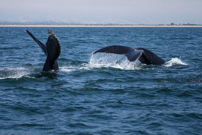 Moss Landing Humpback Whales
