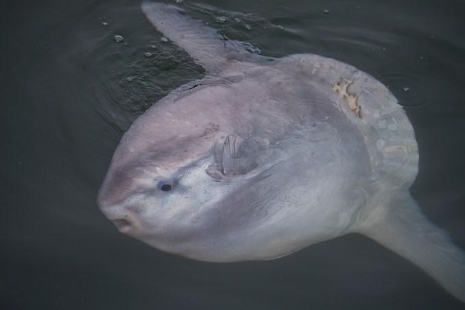 Monterey Bay Mola Mola