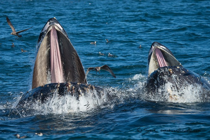 Monterey Bay Lunge-feeding Humpback Whales