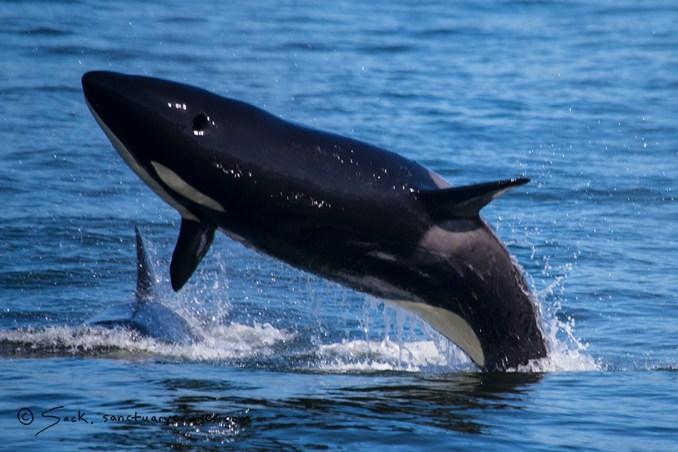 Moss Landing killer whales