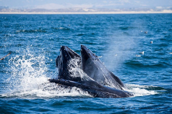 Lunge-feeding Monterey Bay Whale