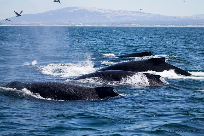 Monterey Bay Humpback whales on the prowl
