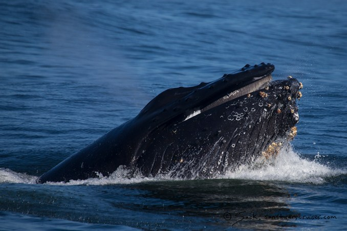 Monterey Bay Lunge-feeding Humpback Whale