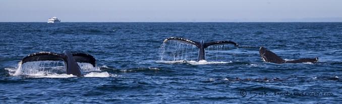 Monterey Bay Humpback Whale Tail Fluke