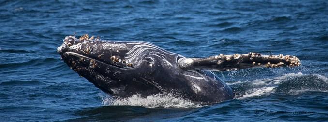 Monterey Bay Breaching Humpback Whale
